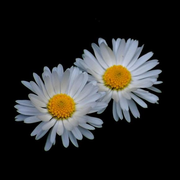 daisy_a_day